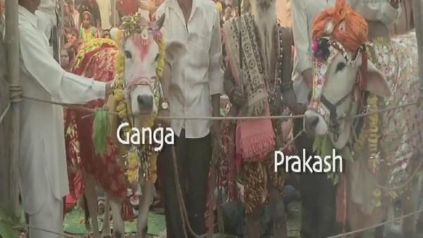 بقره حفل زفاف فاخر لبقرة في الهند بحضور 5 آلاف شخص