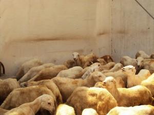 قبل الذباحة 15 300x224 مؤسسة المشكاة تعتزم توزيع أضاحي العيد على 2000 أسرة بالحديدة