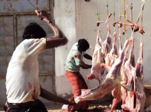 مشاريع المشكاة للأضحية 300x222 مؤسسة المشكاة تعتزم توزيع أضاحي العيد على 2000 أسرة بالحديدة