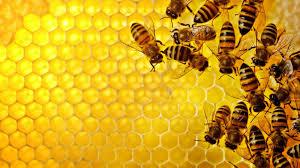 نحل بدء برنامج تدريبي حول تربية وإنتاج العسل بالحديدة