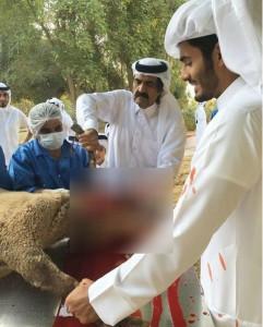 055 241x300 صورة تثير جدلاً واسعاً  ..  أمير قطر السابق وهو يذبح الخروف تثير جدلاً على الشبكة العنكبوتية