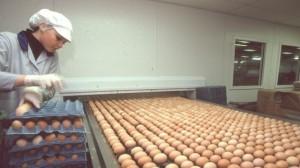 5149 300x168 فضيحة البيض: 700 ألف بيضة ملوثة في بريطانيا