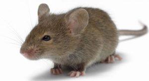 8087 1 300x163 الحديدة : فأرُ عملاق يلتهم طفلاً في مدينة باجل